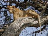 Female Lion Resting in Tree, Masai Mara Game Reserve, Kenya Photographic Print by Kymri Wilt