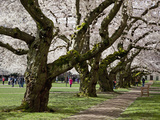 Cherry Trees on University of Washington Campus, Seattle, Washington, USA Photographic Print by Charles Sleicher