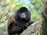 Female Mantled Howler Monkey (Alouatta Palliata), Lomas De Barbudal Biological Reserve, Costa Rica Photographic Print by Miva Stock