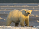 Polar Bear, Arctic National Wildlife Refuge, Alaska, USA Photographic Print by Hugh Rose
