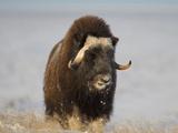 Muskox, Arctic National Wildlife Refuge, Alaska, USA Photographic Print by Hugh Rose