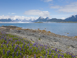 Lupine, Heather Island, Prince William Sound, Alaska, USA Photographic Print by Hugh Rose
