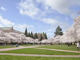 Cherry Trees on University of Washington Campus, Seattle, Washington, USA Photographic Print by Charles Sleicher