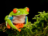 Red Eye Treefrog, Agalychnis Callidryas, Native to Central America Photographic Print by David Northcott
