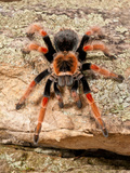 Mexican Painted Leg Tarantula, Brachypelma Emelia, Native to Mexico Photographic Print by David Northcott