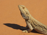 Bearded Dragon (Pogona Vitticeps), Outback New South Wales, Australia Photographic Print by David Wall