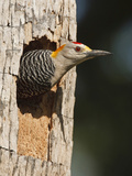Golden-Fronted Woodpecker, Mcallen, Texas, USA Photographic Print by Larry Ditto