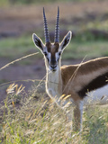 Thomson&#39;s Gazelle (Gazella Thomsoni) on the Savannah, Maasai Mara National Reserve, Kenya Photographic Print by Keren Su