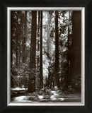 Redwoods, Founders Grove Poster by Ansel Adams