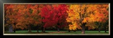 Maple Trees in Autumn, White Mountains, New Hampshire Posters by Tom Mackie