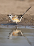 Scissor-Tailed Flycatcher, Texas, USA Photographic Print by Larry Ditto