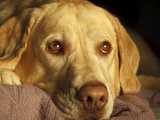 Labrador Retriever, Keizer, Oregon, USA Photographic Print by Rick A. Brown