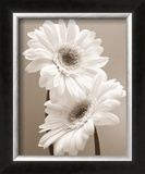 Two Daisies Prints by Carol Sharp