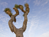 Joshua Tree, Joshua Tree National Park, California, USA Photographic Print by Luc Novovitch