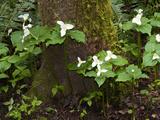 Western Trillium, Grand Forest Bainbridge Island Land Trust Park, Bainbridge Island, Washington USA Photographic Print by Trish Drury