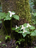 Western Trillium, Grand Forest Bainbridge Island Land Trust Park, Bainbridge Island, Washington USA Photographic Print by Trish Drury