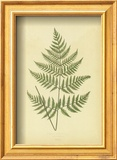 Ferns Prints by Edward Lowe