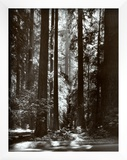 Redwoods, Founders Grove Posters by Ansel Adams