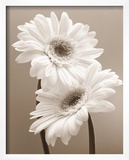 Two Daisies Poster by Carol Sharp