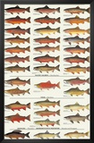 Trout, Salmon & Char of North America I Posters