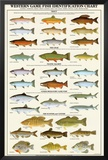 Western Gamefish Identification Chart Posters