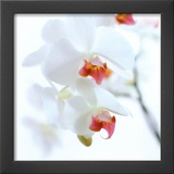 White and Pink Orchid Prints by C&#233;dric Porchez