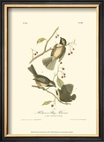 Hudson's Bay Titmouse Posters by John James Audubon