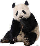 Giant Panda Lifesize Standup Silhouette en carton