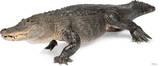 American Alligator Lifesize Standup Figura de cartón