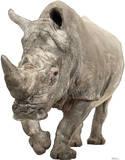White Rhinoceros Lifesize Standup Cardboard Cutouts