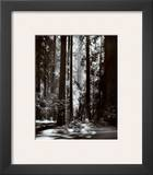 Redwoods, Founders Grove Print by Ansel Adams