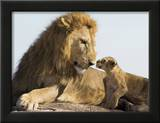 Lion Cub and Male Adult, Kenya Poster by Suzi Eszterhas