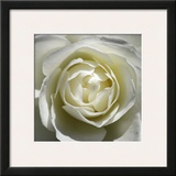 White Rose Prints by Laurent Pinsard