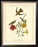 Mango Hummingbird Poster by John James Audubon