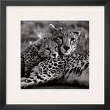 Cheetah with Cub Posters by Danita Delimont