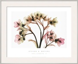 Hellebore II Prints by Steven N. Meyers