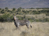 Rare Mountain Zebra in the Early Morning in the Karoo National Park, South Africa, Africa Photographic Print by Peter Groenendijk