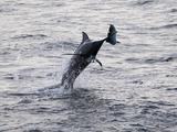 Blue Marlin (Makaira Nigricans) Hunting Dorado (Coryphaena Hippurus), Congo, Africa Photographic Print by Mick Baines & Maren Reichelt
