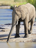 Elephant Drinking, Pilanesberg National Park, Sun City, South Africa, Africa Photographic Print by Peter Groenendijk