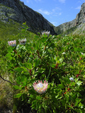 Protea, the National Flower, Garden Route, Cape Province, South Africa, Africa Photographic Print by Peter Groenendijk