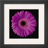 Gerbera Daisy Purple Posters by Jim Christensen
