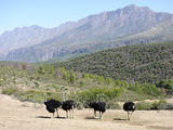 Ostriches, Swartberg, South Africa, Africa Photographic Print by Peter Groenendijk