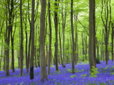 Carpet of Bluebells Growing in Beech Woodland at West Woods, Lockeridge Near Marlborough, England Photographic Print by Adam Burton
