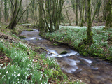 Snowdrops (Galanthus) Flowering in North Hawkwell Wood, Exmoor Nat'l Park, Somerset, England Photographie par Adam Burton