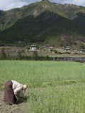 Female Farmer Working in Wheat Field, Paro Valley, Bhutan, Asia Photographic Print by Eitan Simanor