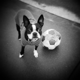 Boston Terrier with Soccer Ball Photographic Print by Theo Westenberger