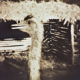 Ostrich in Profile Photographic Print by Theo Westenberger