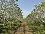Countryside Lined with Frangipani Trees, Negros, Philippines, Southeast Asia, Asia Photographic Print by Luca Tettoni