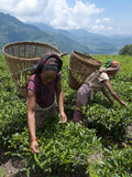 Tea Plucking in the Annapurna Area, Lwang, Pokhara, Nepal, Asia Photographie par Eitan Simanor