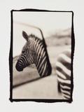 Zebra in the Mirror 1 Photographie par Theo Westenberger